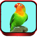 TERAPI LOVEBIRD MASTER