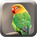 Kicau Lovebird Master