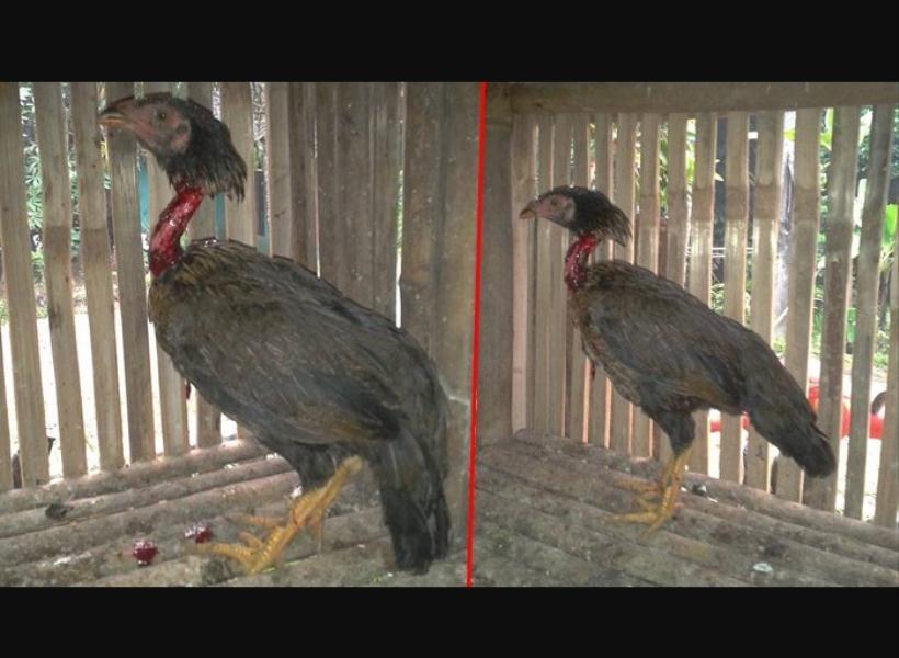 Sudah Disembelih, Ayam Masih Bisa Berdiri
