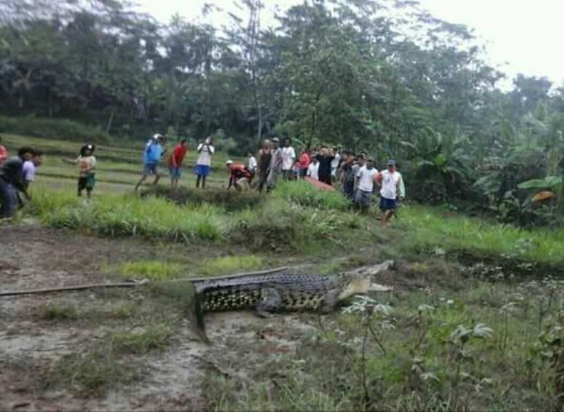 Hanyut Kena Banjir, Buaya Nyasar di Sawah