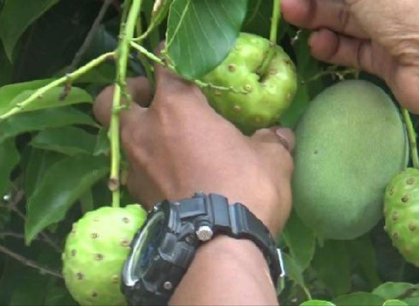 Aneh, Pohon Mangga Berbuah Mengkudu