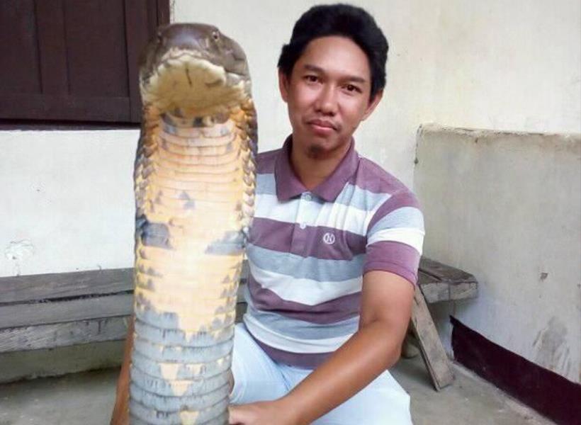 Heboh Foto King Cobra Raksasa di Kalimantan