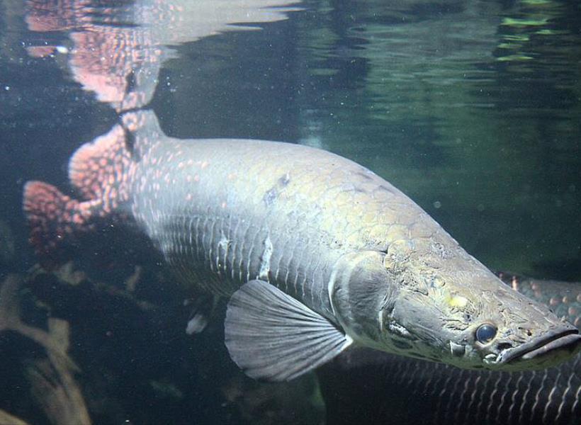 Ancaman Hukum Bagi yang Memelihara Ikan Arapaima