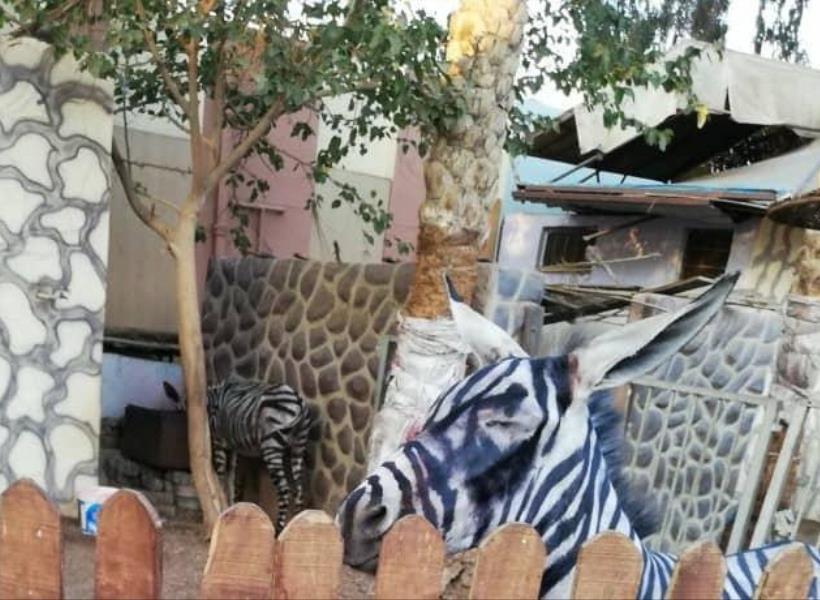 Kebun Binatang Tipu Pengunjung dengan Zebra Palsu