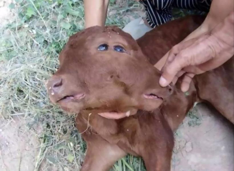 Heboh, Anak Sapi Terlahir dengan 2 Kepala