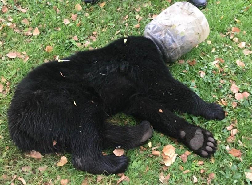 Tiga Hari Kepala Anak Beruang Terjebak dalam Toples Plastik