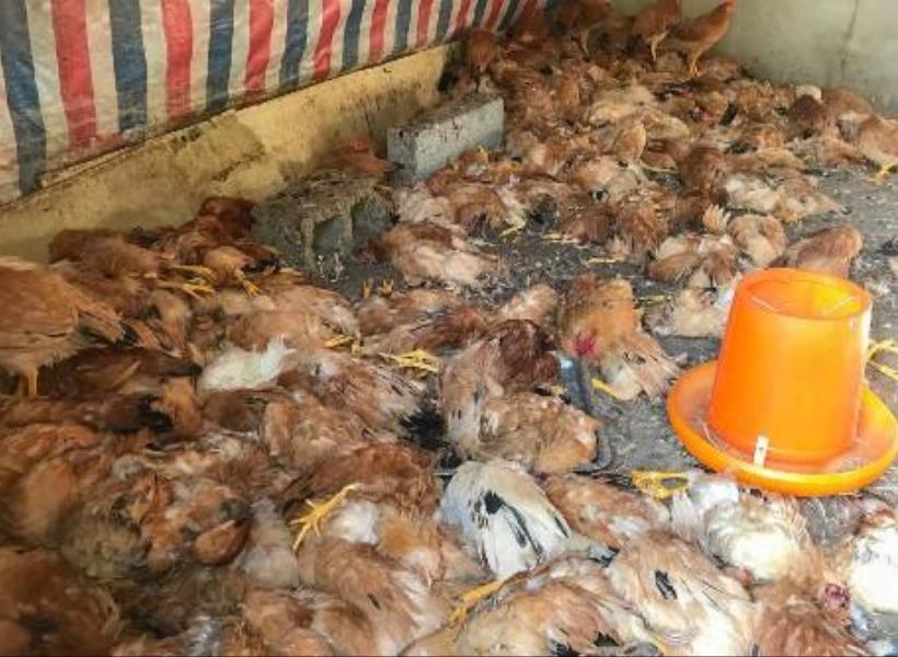 Anjing Ganas Kabur, Tewaskan 600 Ayam dalam Semalam