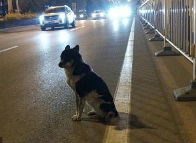 Anjing Setia Menanti Pemiliknya Selama 80 Hari di Pinggir Jalan