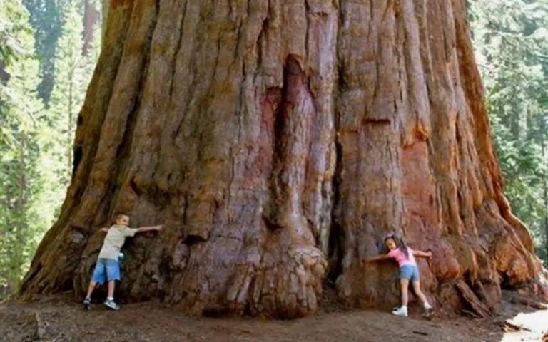 Lima Pohon Terbesar dan Terbaik di Dunia