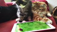 Kucing Mencoba Menangkap Tikus Di iPad